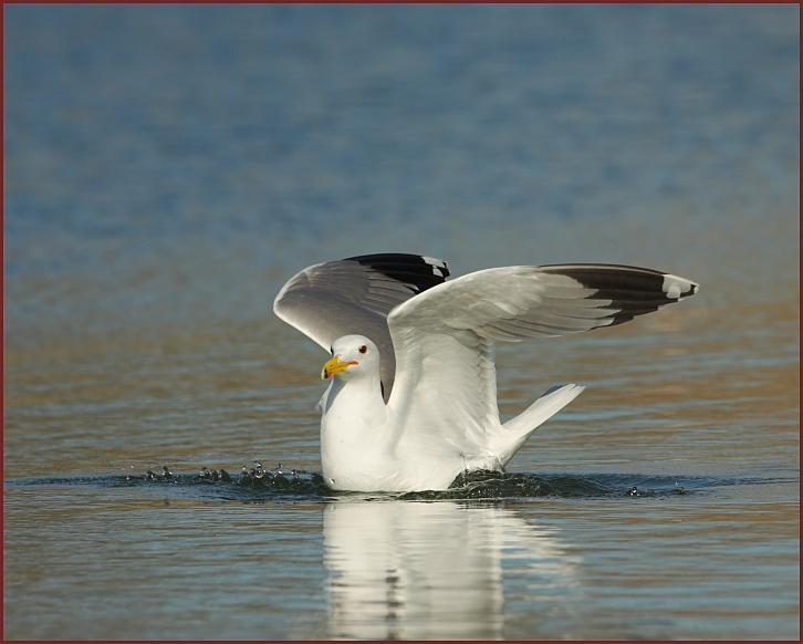California gull 2500 x 2000 ppi