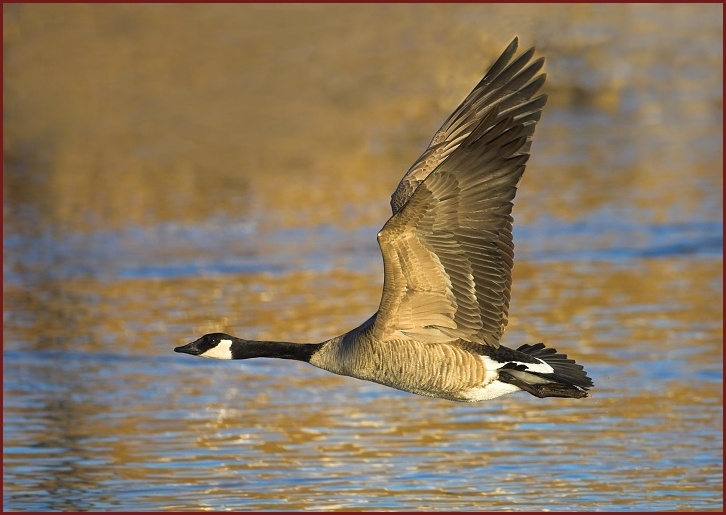 how to clean canada goose at home