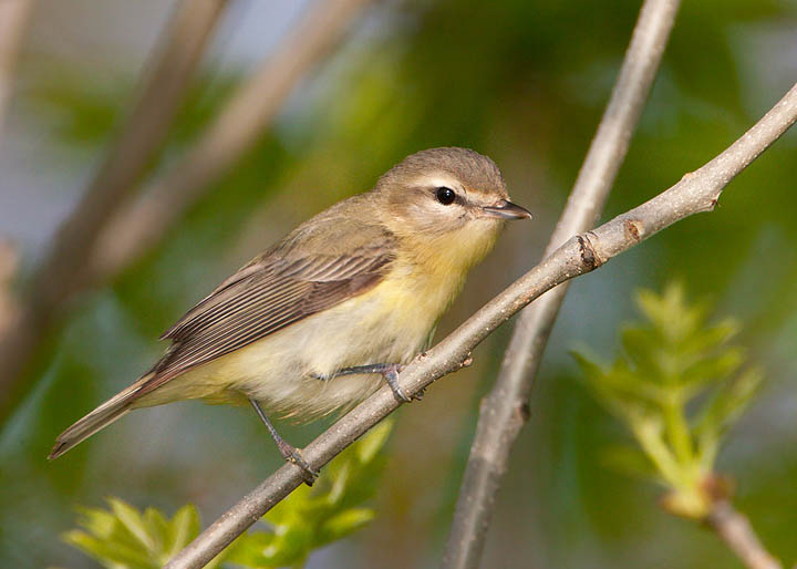 Vireo - photo#25